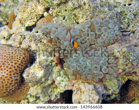 Baby Clownfish in anemone - stock photo