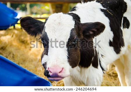 Baby cow  drinking water in farm - stock photo