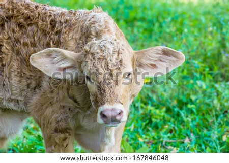 Baby cow in green field