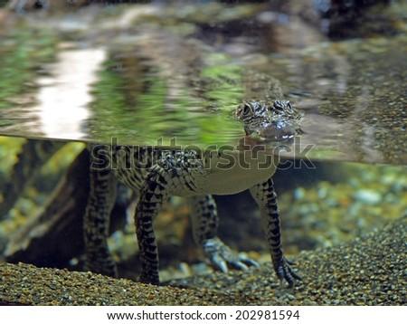Baby Crocodile in an aquarium at Skansen, Stockholm, Sweden - stock photo