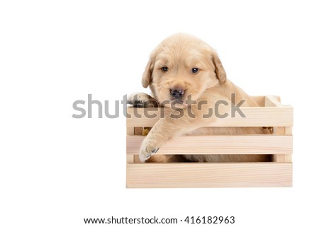 Baby dog breed Labrador is a lovely bright