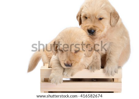 Baby dog breed Labrador is a lovely bright Puppy in basket white background.