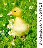 baby duck in the grass - stock photo