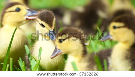 Baby duck  surrounded by her other siblings in the grass in the sunshine. - stock photo