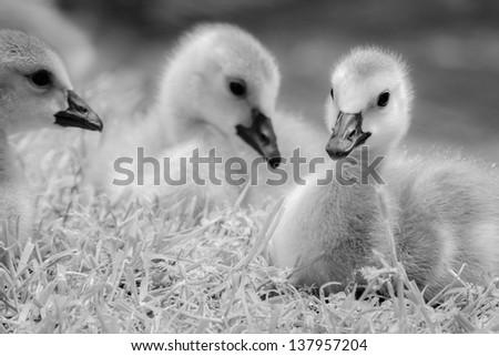 Baby Ducks - stock photo