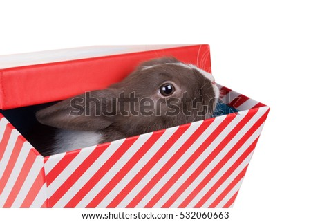 Baby Dutch dwarf rabbit  looks out of gift box. Isolated on white background