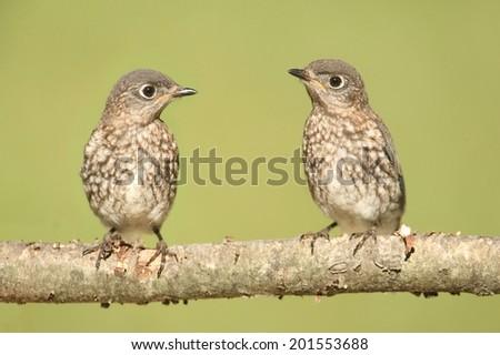 Baby Eastern Bluebird (Sialia sialis) on a branch - stock photo