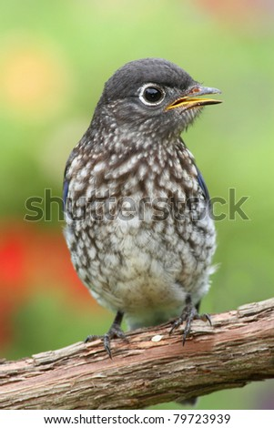 Baby Eastern Bluebird (Sialia sialis) on a perch with a colorful background - stock photo