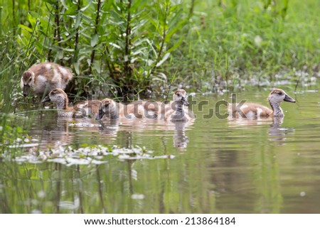 Baby Egyptian goose go for a swim on their own in dangerous wild water - stock photo