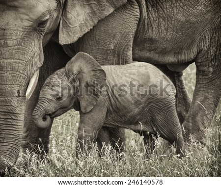BABY ELEPHANT AND HIS MOTHER - stock photo