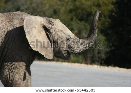 Baby elephant calling for its mother in the wild - stock photo