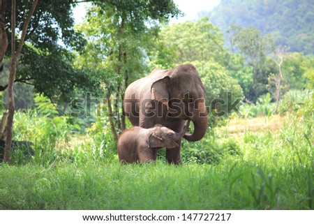 Baby elephant eat  food at mouth of mother elephant