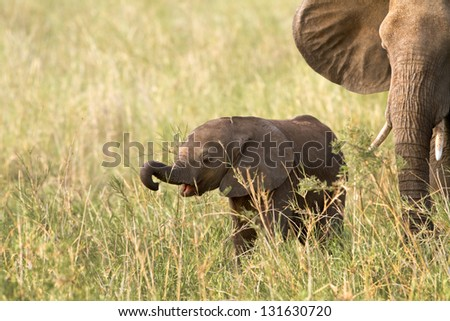 Baby Elephant eating grass for the first time, Tarangire National Park, Tanzania - stock photo
