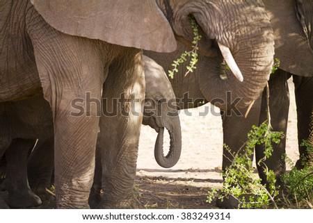 Baby elephant eats in Serengeti - stock photo