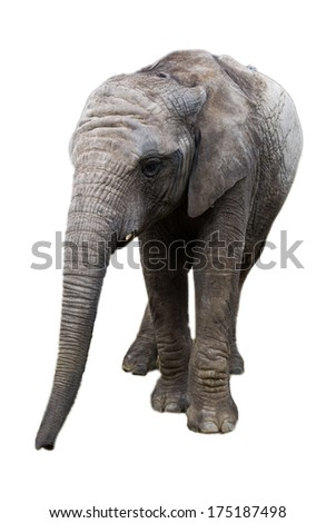 Baby Elephant Facing Forwards Isolated on White Background
