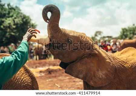 Baby elephant feeding with milk  in the  National park Nairobi, Kenya  - stock photo