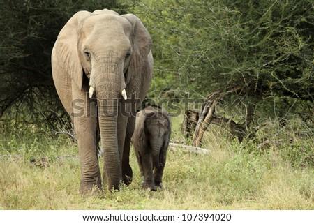 Baby elephant following mother walking through bush. - stock photo