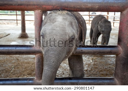 Baby elephant in captivity