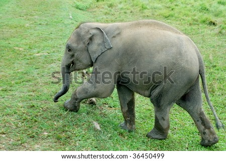 Baby Elephant marching on grassland