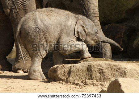 Baby elephant reaching for water
