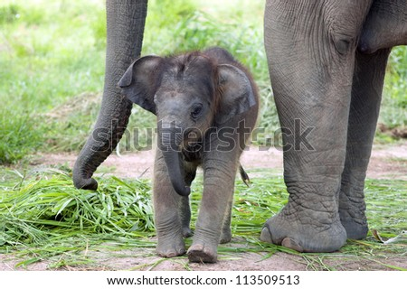 Baby elephant side by side with its mother
