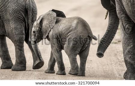 Baby Elephant walking, Serengeti, Tanzania - stock photo