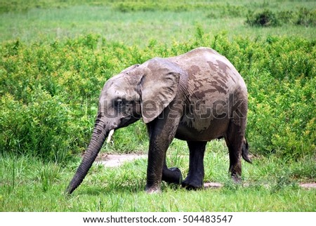 Baby elephant who plays with some water in the Tanzanian meadow