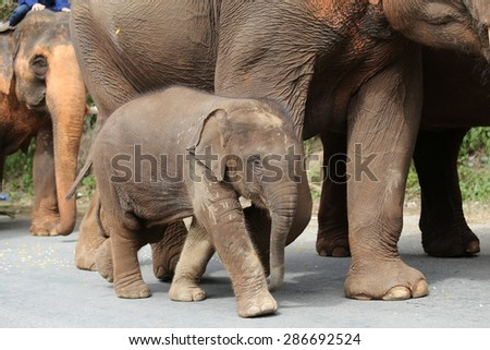 Baby elephant with elephant mother on the road.