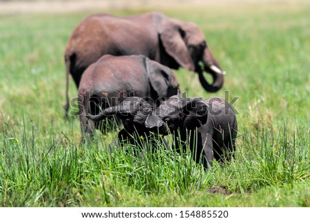 Baby elephants playing in the mud of the swamp in the Masai Mara - stock photo