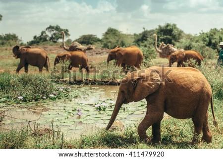Baby elephants walking free in the National park Nairobi, Kenya  - stock photo