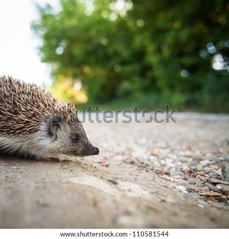 Baby European Hedgehog (Erinaceus europaeus - stock photo
