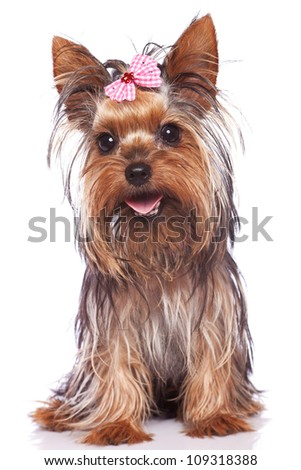 baby face yorkshire terrier puppy dog sitting and panting while looking at the camera - stock photo
