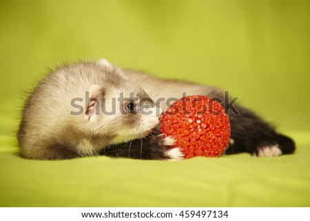 Baby ferret portrait with red toy in studio - stock photo