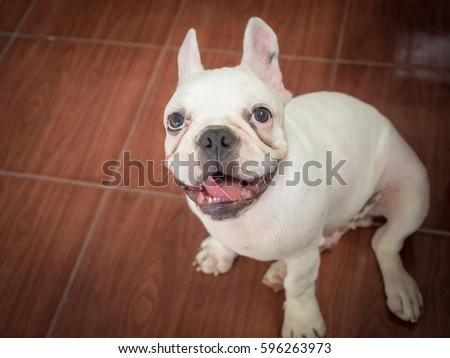 Baby french bulldog playing on the ground