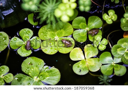 Baby frogs on four leaf clover plants floating in pond - stock photo