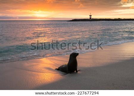 Baby fur seal at Punta Carola, Galapagos islands - stock photo
