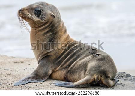 Baby fur seal, Galapagos islands - stock photo