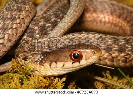 Baby Garter Snake (Thamnophis sirtalis) on moss in spring - stock photo