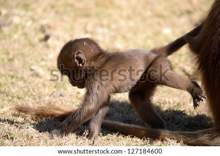 Baby gelada baboon in his natural habitat, the Simien Mountains National Park, Ethiopia - stock photo
