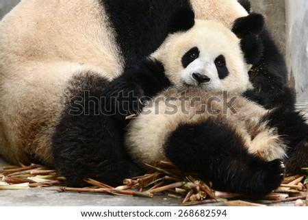Baby Giant panda bear cub play with Mother Chengdu, China - stock photo