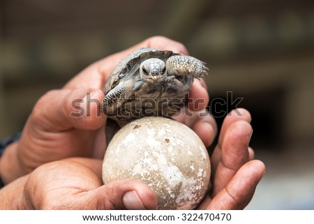 Baby giant tortoise and egg on Isabela Island in the Galapagos Islands - stock photo