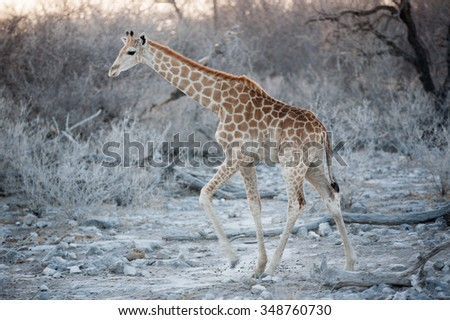 baby girafe in Etosha Natural reserve, Namibia - stock photo