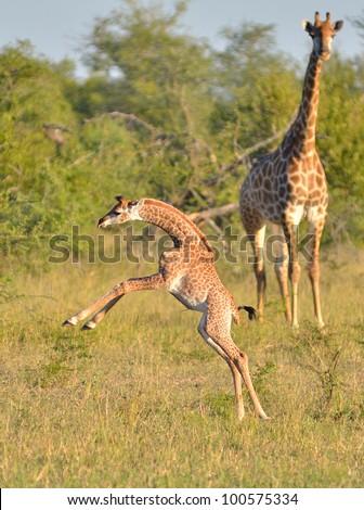 Baby Giraffe - stock photo