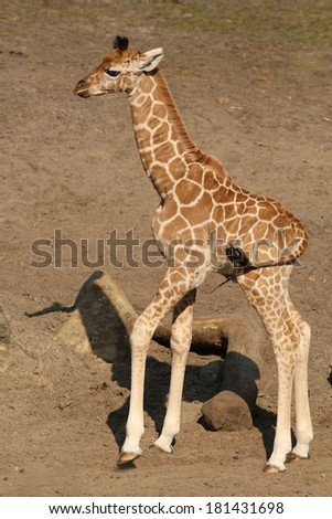 Baby giraffe - stock photo