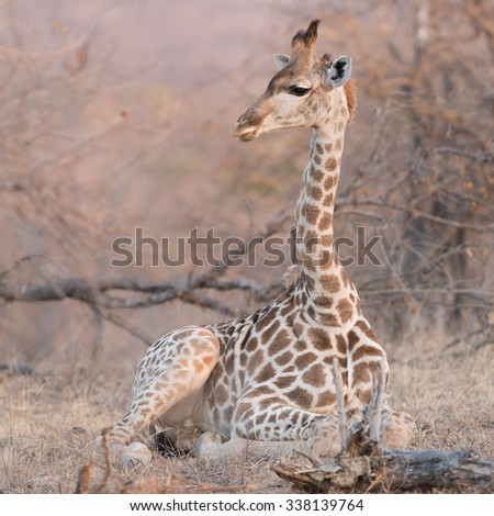 Baby giraffe, Balule Reserve, South Africa. - stock photo