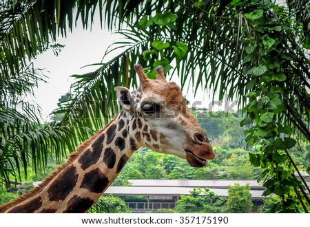 Baby Giraffe closeup - stock photo