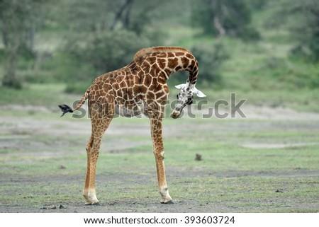 baby giraffe in natural habitat - stock photo