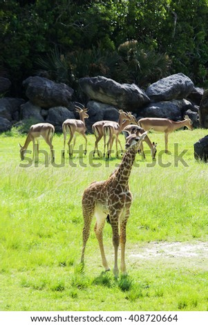 Baby Giraffes having fun - stock photo