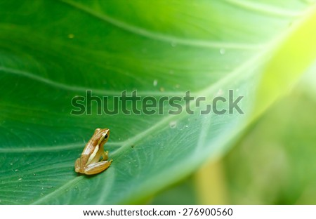Baby Golden Tree Frog on Taro leaf in morning day, Common Tree Frog. - stock photo
