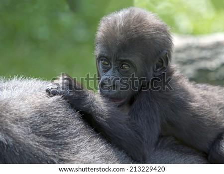 Baby gorilla - stock photo
